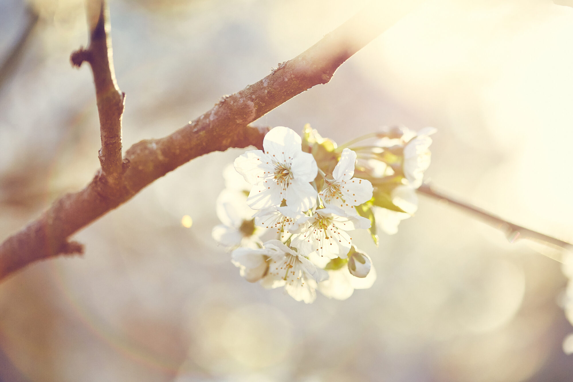 fruit blossoms photography